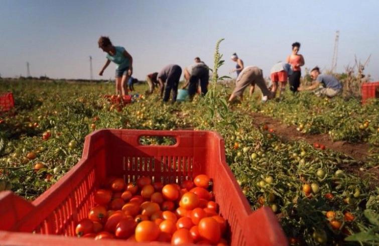 pomodori migranti