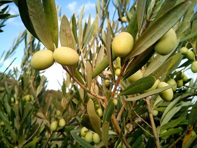 Xylella coldiretti puglia ulivi secchi